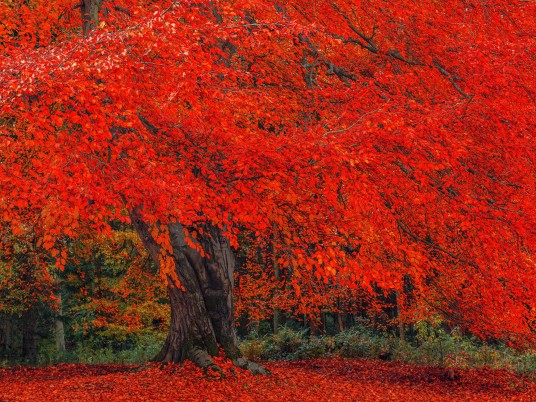 Random: Luminous Red Autumn Tree