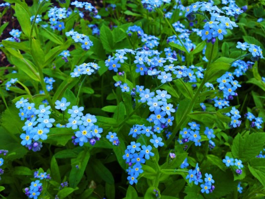 Forget Me Not Bush wallpapers and stock photos