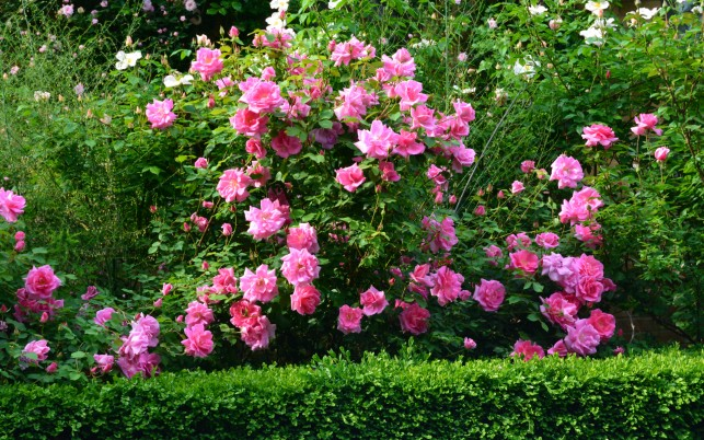Pink Rose Bush wallpapers and stock photos