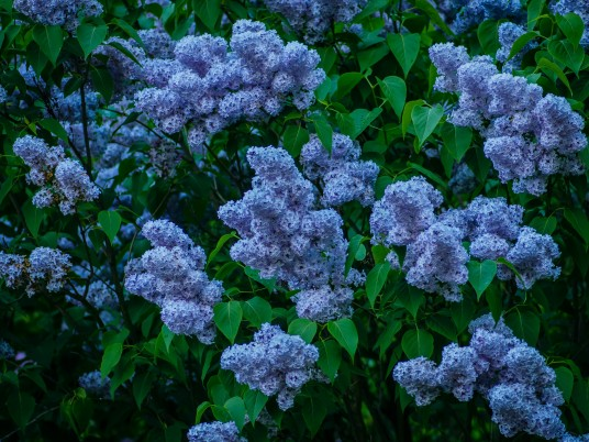 Blue Lilac Bush wallpapers and stock photos