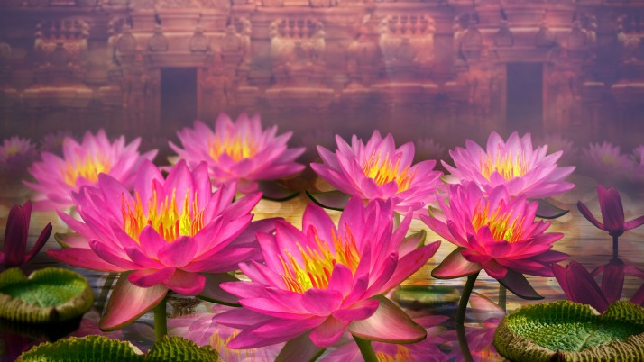 Pink Lotus Flowers wallpapers and stock photos