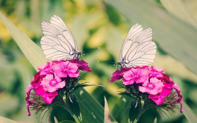 Butterflies & Pink Carnations wallpapers and stock photos