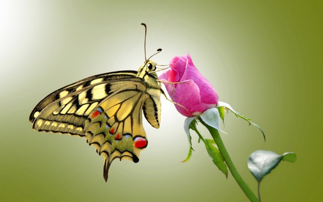 Butterfly & Pink Rose wallpapers and stock photos