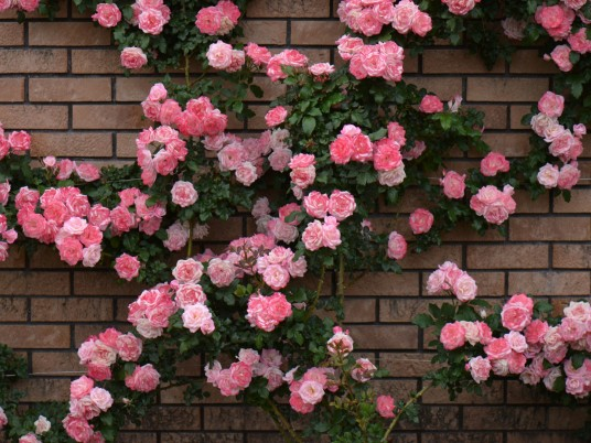 Rose Bush & Brick Wall wallpapers and stock photos