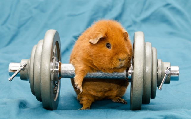 Guinea Pig Dumb Bell wallpapers and stock photos