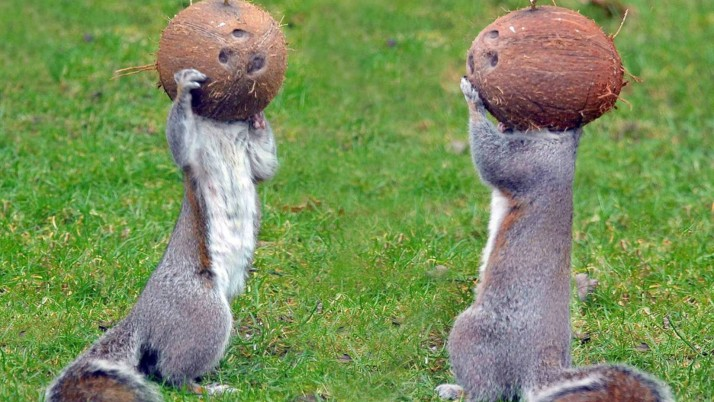 Squirrels Coconut Heads wallpapers and stock photos
