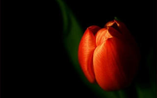 Discrete Tulip wallpapers and stock photos