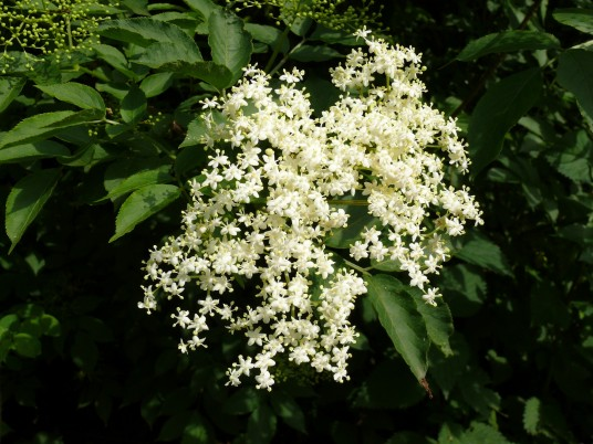 Previous: Elder Flower
