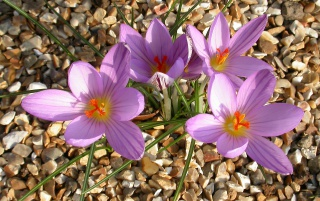 4 Crocuses wallpapers and stock photos