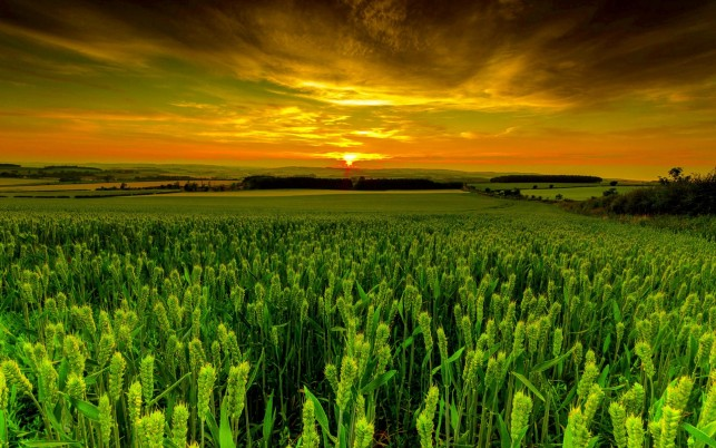 Vivid Green Wheat Field Dusk wallpapers and stock photos