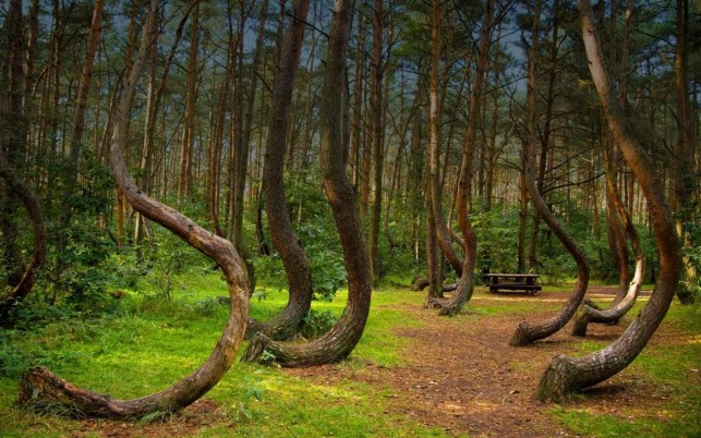 Crooked Forest Poland wallpapers and stock photos