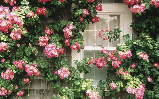 Pink Climbing Roses Window wallpapers and stock photos
