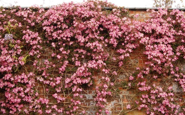 Pink Clematis Brick Wall wallpapers and stock photos