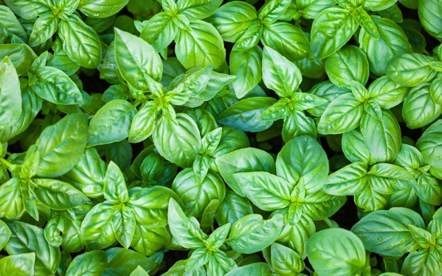 Basil wallpapers and stock photos