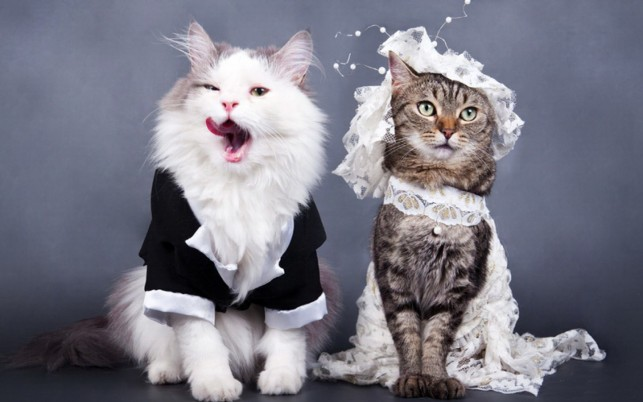 Cats Wedding wallpapers and stock photos