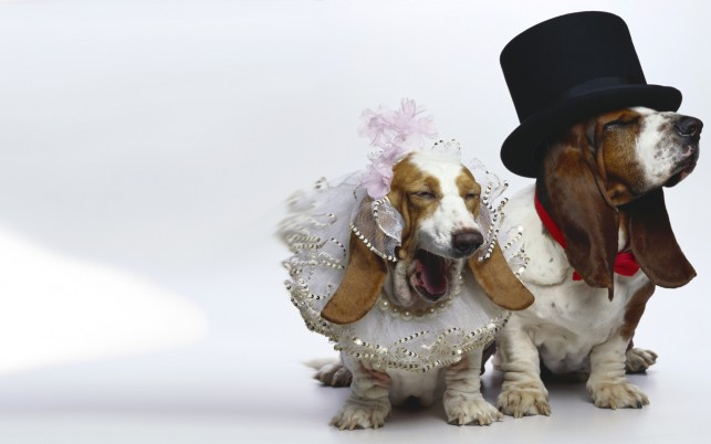 Dogs Wedding wallpapers and stock photos