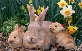 Palomino Rabbits wallpapers and stock photos