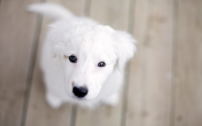 Random: White puppy, dog, animals