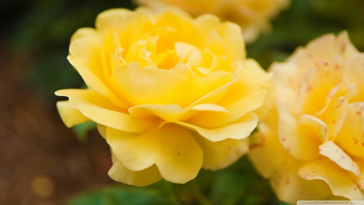 Random: Yellow Rose, flowers
