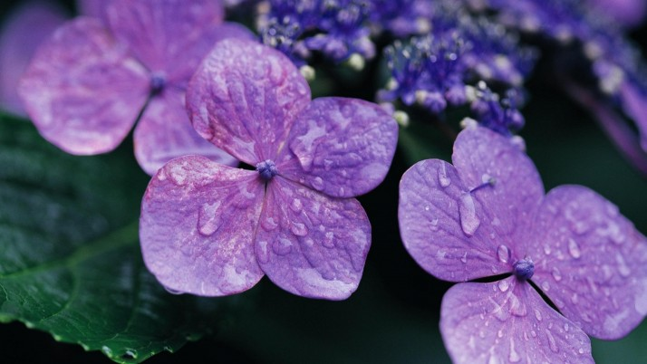 Flowers Violet Drops Surface wallpapers and stock photos