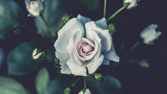 Rose Flower Bud White wallpapers and stock photos