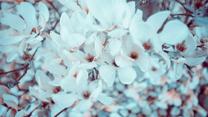 Magnolia Flowers Bloom wallpapers and stock photos
