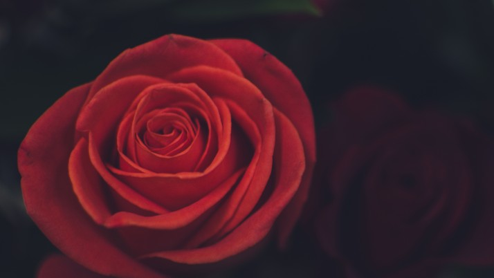 Rose Bud Petals Red wallpapers and stock photos