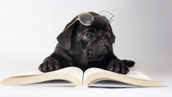 Pug reading a book wallpapers and stock photos