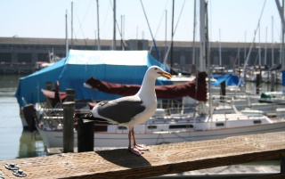 Posing Seagull wallpapers and stock photos
