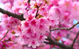 Cherry Blossom wallpapers and stock photos
