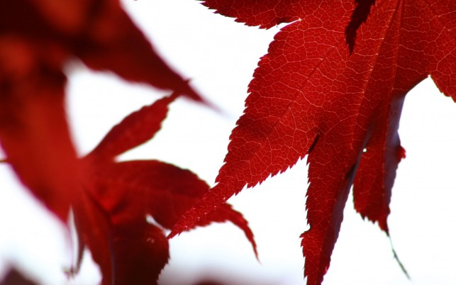 Random: Red  leaves