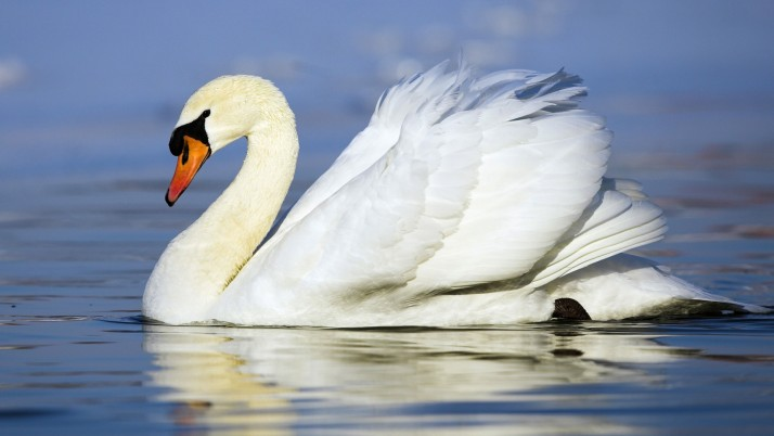 White Swan, animal wallpapers and stock photos