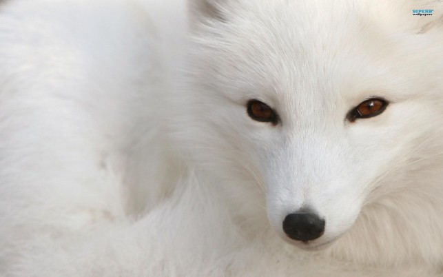 Polar Fox, animals wallpapers and stock photos