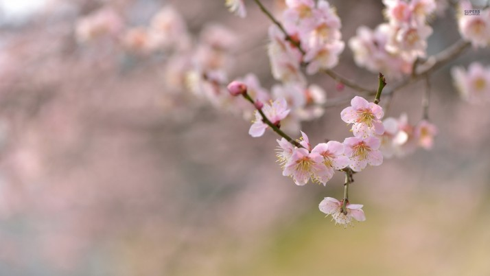 Cherry blossoms, flowers wallpapers and stock photos