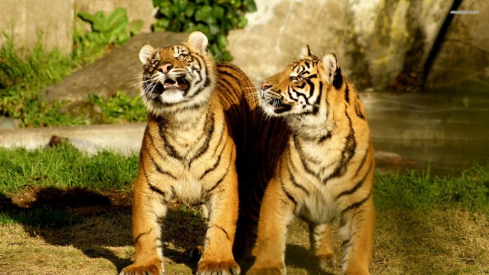 Tigers, animals wallpapers and stock photos