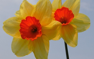 Special Daffodils wallpapers and stock photos