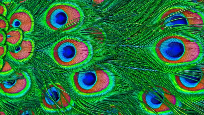 Federn, Pfau, bunt wallpapers and stock photos