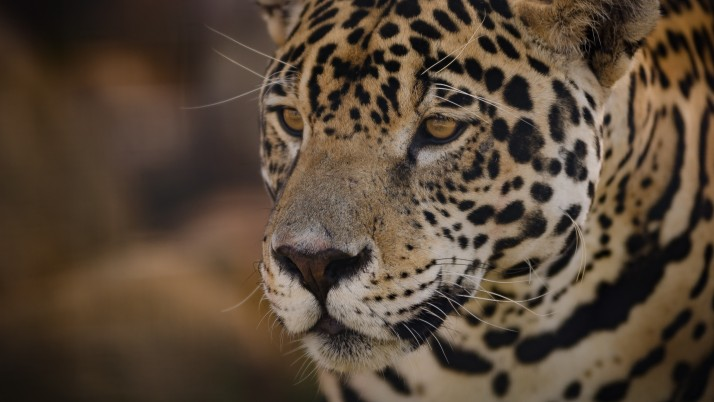 jaguar, muzzle, predator wallpapers and stock photos
