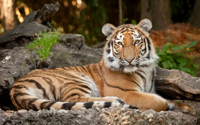 Tigre, animales wallpapers and stock photos
