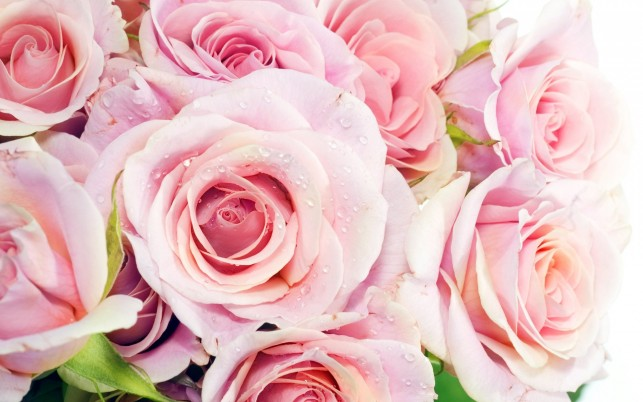 Rosa Rosen, Blumen wallpapers and stock photos