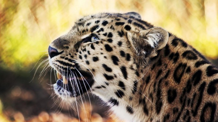 Leopard  animal wallpapers and stock photos