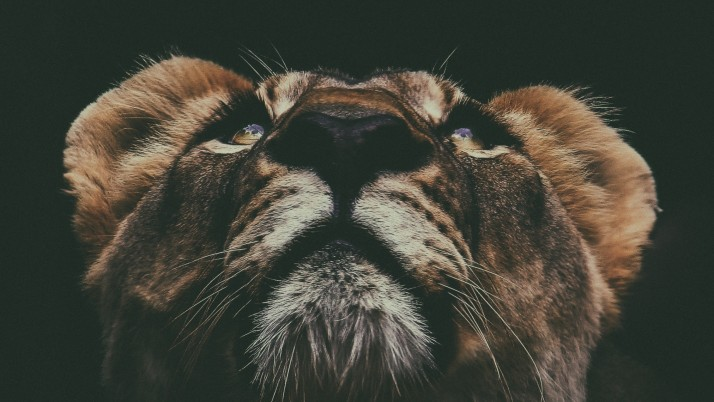 Lion Muzzle Look Up wallpapers and stock photos