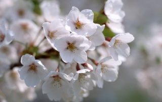 White Blossom wallpapers and stock photos