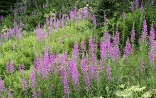 Previous: Field of Fireweed