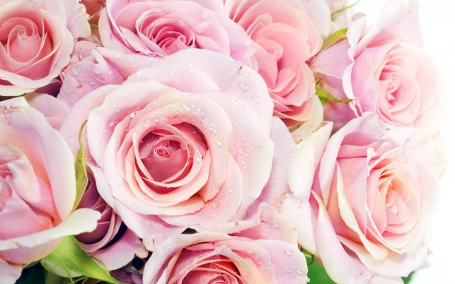 Pink Roses, flowers wallpapers and stock photos