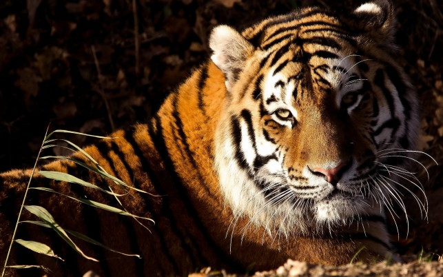 Tiger, animals wallpapers and stock photos