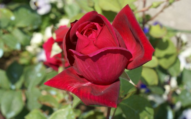 Random: Rose Flowers, red, roses, themes