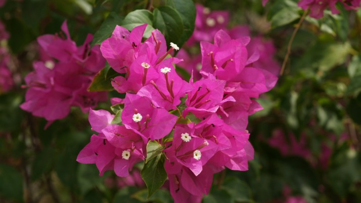 Bougainvillea Flower, flowers, nature wallpapers and stock photos