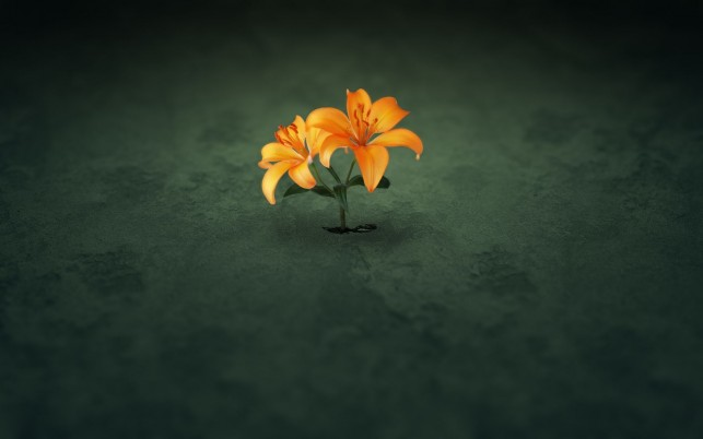 Orange Flower, flores, parede, fotos wallpapers and stock photos