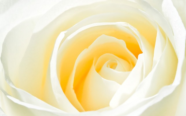 White Rose, windows, landscapes wallpapers and stock photos